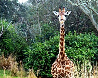 Photograph - Gazing Giraffe by Katy Hawk