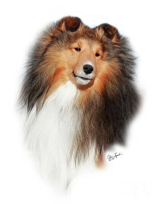 Sable Sheltie Photograph - Gch Mystique Wikked Pursuit-1 by Chris Lynch