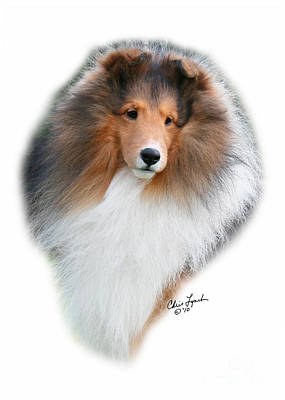 Sable Sheltie Photograph - Gch Paray's Cambridge-3 by Chris Lynch