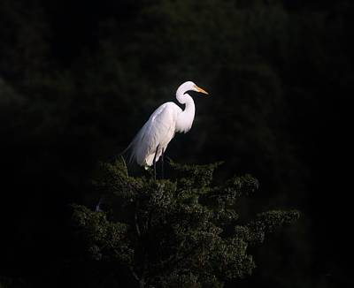 Photograph - Great Egret Against A Black Background by Karen Silvestri