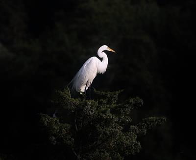 Photograph - Great Egret Against A Black Background by Karen Silvestri