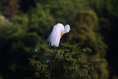 Photograph - Bashful Great Egret by Karen Silvestri