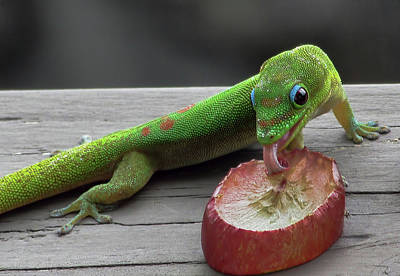 Photograph - Gecko Eating by Pamela Walton
