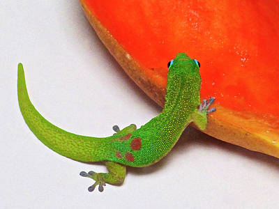Gecko Eating Papaya Art Print