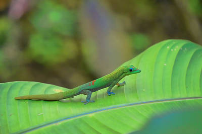 Photograph - Gecko On Leaf by Pamela Walton