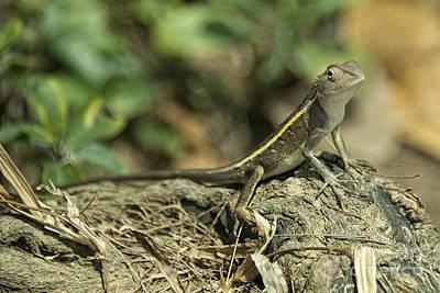 Gecko  Print by Rob Hawkins