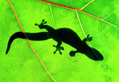Gecko Silhouette On Green Leaf, North Shore, 1998 Art Print by Sean Davey