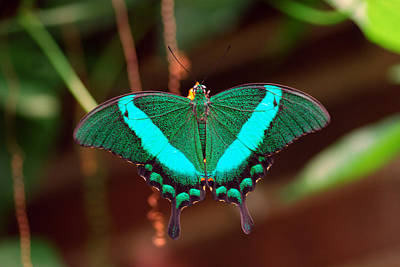 Pure Pleasure Photograph - Geen Blue Butterfly by Don  Wright