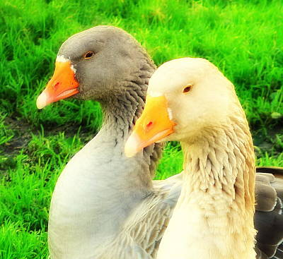 Photograph -  Geese Have Strong Affections For Others In Their Group by Hilde Widerberg