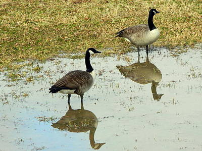 Photograph - Geese Alerted  by Kathy Barney