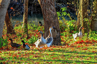 Photograph - Geese And Ducks Along The River by Marilyn Burton