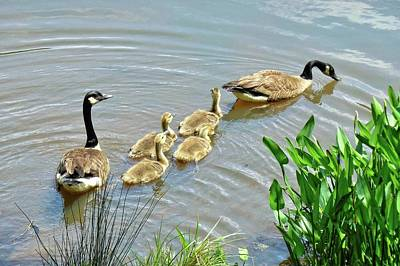 Photograph - Geese And Goslings by Ludwig Keck