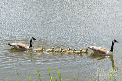 Photograph - Geese And Goslings by Rod Jones