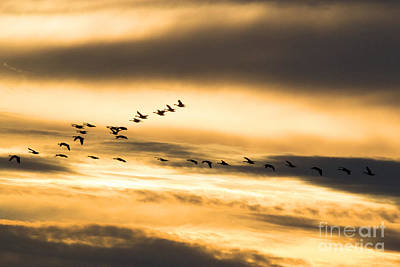 Lady Bug - Geese at Riverlands by Tim Sevcik