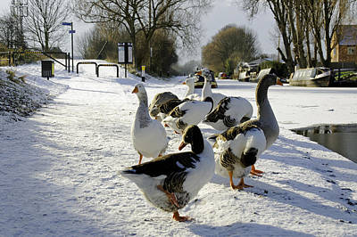 Geese At The Frozen Horninglow Basin Print by Rod Johnson