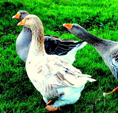 Photograph -  A Couple Of Friendly Geese And One Goose Ready For A Fight  by Hilde Widerberg