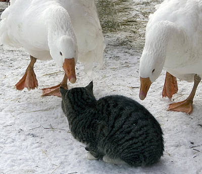 Geese Double Team The Barn Cat Art Print by Laurie With