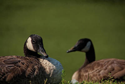 Photograph - Geese Duo by Karol Livote