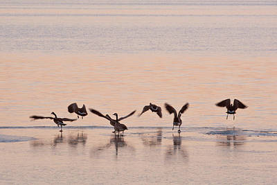 Photograph - Geese Evening Dance by Catherine Lau