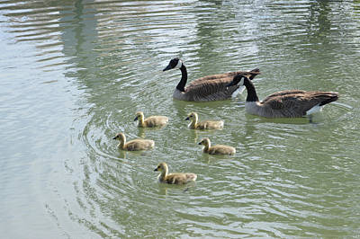 Photograph - Geese Family  by Brent Dolliver