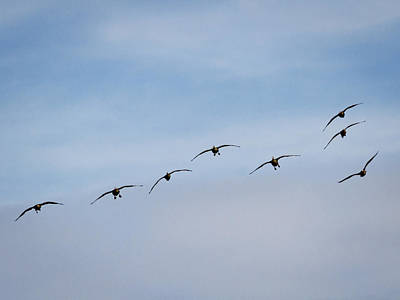 Photograph - Geese Flying At You By Jean Noren by Jean Noren