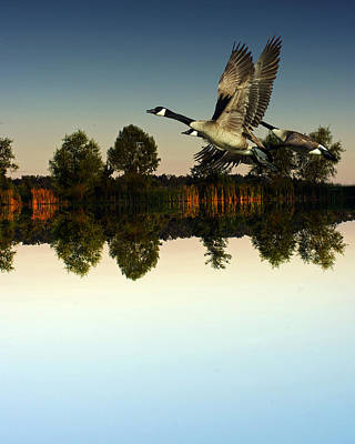 Flycatcher Digital Art - Geese Flynig Over Evening Pond by Ron Kruger
