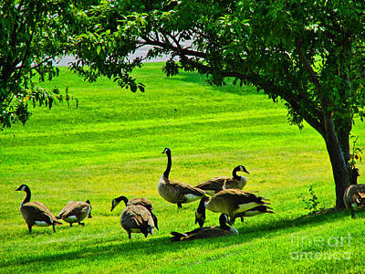 Geese Geting Some Shade Art Print