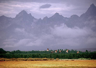 Photograph - Geese, Grand Tetons by Gary Shepard