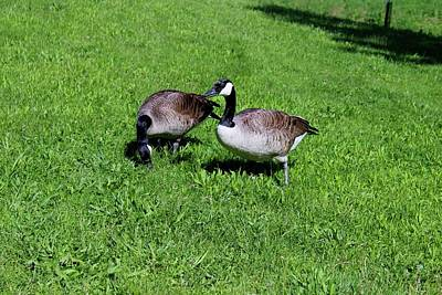 Photograph - Geese Grazing by Michiale Schneider