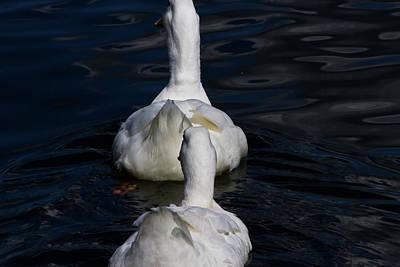Photograph - Geese In A Row by Miroslava Jurcik