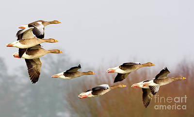 Photograph - Geese In Flight by Colin Rayner