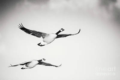 Photograph - Geese In Flight by Michael McStamp