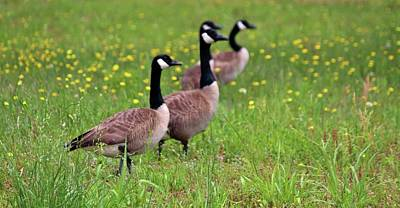 Photograph - Geese In The Dandelions by Cynthia Guinn