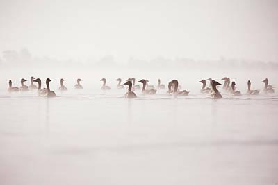 Geese In The Mist Art Print