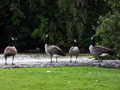 Photograph - Geese by Joseph Frank Baraba