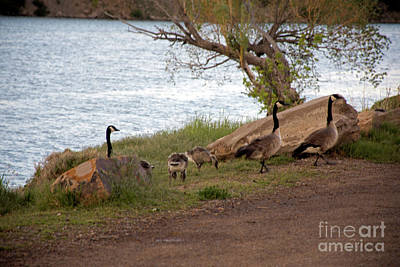 Photograph - Geese Montana by Cindy Murphy - NightVisions