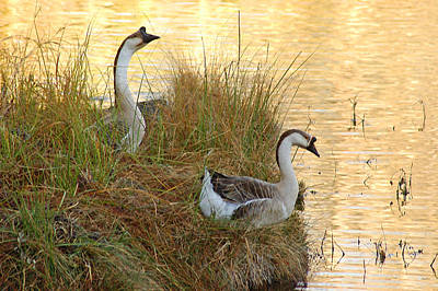 Photograph - Geese On Island by Robert Anschutz