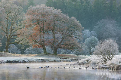 Sunrise At The Bridge Photograph - Geese On The Brathay by Tony Higginson