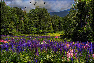 Photograph - Geese Over Lupine Field by Wayne King