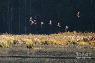 Photograph - Geese Over The Marsh by Sharon Talson