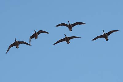 Ganders Photograph - Geese Overhead by Paul Freidlund