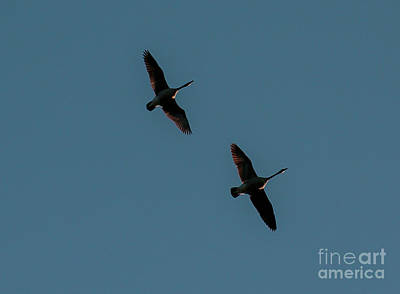 Photograph - Geese Pair by Mim White