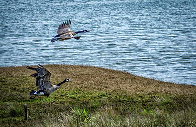 Photograph - Geese Takeoff  by Bill Posner