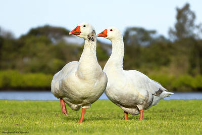 School Tote Bags Royalty Free Images - Geese walk in the park 02 Royalty-Free Image by Kevin Chippindall