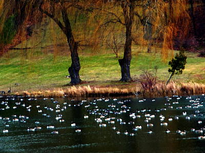 Geese Weeping Willows Art Print