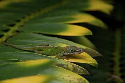 Photograph - Gekco On Palm  Leaf by Roger Mullenhour