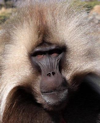Photograph - Gelada Baboon Portrait by Aidan Moran