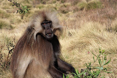 Photograph - Gelada Baboon, Simien Mountains, Ethiopia by Aidan Moran