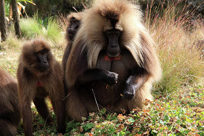 Photograph - Gelada Baboons, Simien Mountains, Ethiopia by Aidan Moran