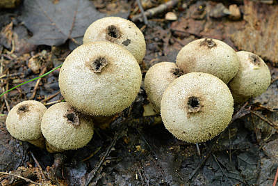 Photograph - Gem-studded Puffball Mushroom by Alan Lenk
